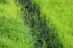 Jeunes plantes de riz Photographie stock