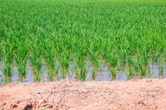 Jeunes plantes de riz dans des domaines de riz Photographie stock