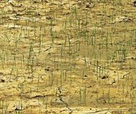 Jeunes plantes de riz dans des rizières stériles Photos stock