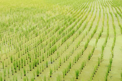 Jeunes plantes de riz dans le paddy image libre de droits