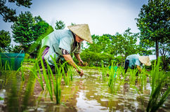 Jeunes plantes de riz de greffe Photo stock