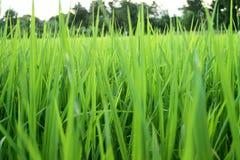 Jeunes plantes de riz de la Thaïlande Photo stock