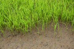 Jeunes plantes de riz et sol boueux Photos stock