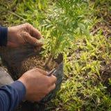 Jeunes plantes de souci d'usine de jardiniers image stock