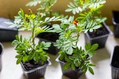 Jeunes plantes de tagetes de souci africain dans les petits pots noirs avec le sol noir Image stock