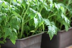 Jeunes plantes de tomate Photos libres de droits
