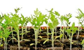 Jeunes plantes de tomate Photo libre de droits