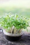 Jeunes plantes de tomate images stock