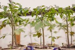 Jeunes plantes de tomate dans des bacs Images libres de droits