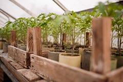 Jeunes plantes de tomate dans des bacs Photo stock