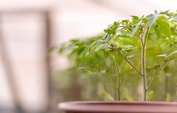 Jeunes plantes de tomate dans des bacs Image libre de droits