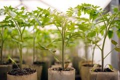 Jeunes plantes de tomate dans des bacs Images stock