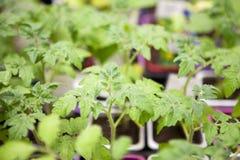 Jeunes jeunes plantes de tomate dans des pots en plastique image libre de droits