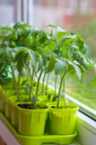 Jeunes plantes de tomate dans des pots sur la fenêtre Image libre de droits