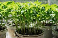 Jeunes plantes de tomate dans des seaux en plastique Photographie stock