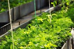jeunes plantes de tomate en serre chaude Photos stock