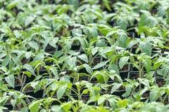Jeunes plantes de tomate, jeune feuillage de tomate, jeunes plantes de ressort Photographie stock