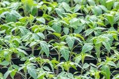 Jeunes plantes de tomate, jeune feuillage de tomate, jeunes plantes de ressort Images libres de droits