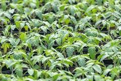 Jeunes plantes de tomate, jeune feuillage de tomate, jeunes plantes de ressort Photo libre de droits