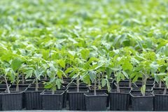 Jeunes plantes de tomate, jeune feuillage de tomate, jeunes plantes de ressort Photos libres de droits