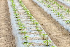 Jeunes plantes de tomate s'élevant en serre chaude Photos stock