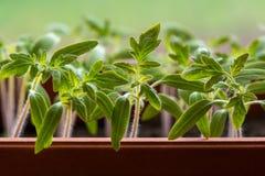 Jeunes plantes de tomate s'élevant en serre chaude Photographie stock libre de droits