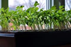 Jeunes plantes de tomate s'élevant vers la lumière du soleil sur le rebord de fenêtre photographie stock libre de droits