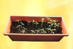 Jeunes plantes de tomate sur le fond ensoleillé jaune image libre de droits