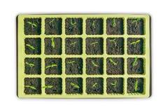 Jeunes jeunes plantes de tomate sur un fond blanc image libre de droits