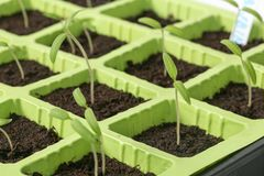 Jeunes jeunes plantes de tomate sur un fond blanc photographie stock