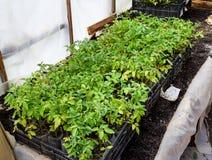 Jeunes plantes de tomate Tomates croissantes en serre chaude Image stock