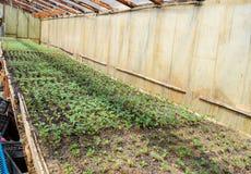 Jeunes plantes de tomate Tomates croissantes en serre chaude Photos stock