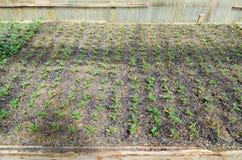 Jeunes plantes de tomate Tomates croissantes en serre chaude Photographie stock libre de droits