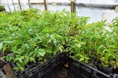Jeunes plantes de tomate Tomates croissantes en serre chaude Photos libres de droits