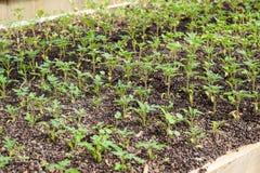 Jeunes plantes de tomate Tomates croissantes en serre chaude Image libre de droits
