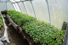 Jeunes plantes de tomate Tomates croissantes en serre chaude Photo stock