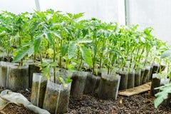 Jeunes plantes de tomate Tomates croissantes en serre chaude Images stock