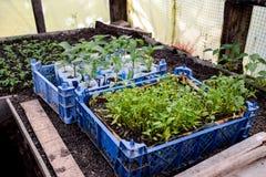 Jeunes plantes de tomate Tomates croissantes en serre chaude Seedlin Photo stock
