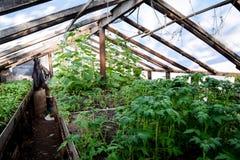 Jeunes plantes de tomate Tomates croissantes en serre chaude Seedlin Images stock