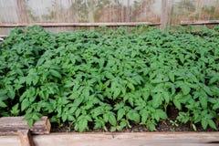 Jeunes plantes de tomate Tomates croissantes en serre chaude Seedlin Images libres de droits