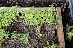 Jeunes plantes de tomate Tomates croissantes en serre chaude Seedlin Photos libres de droits