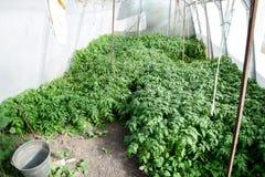 Jeunes plantes de tomate Tomates croissantes en serre chaude Seedlin Image libre de droits
