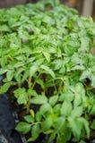 Jeunes plantes de tomates Images stock