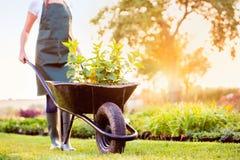 Jeunes plantes de transport de jardinier méconnaissable dans la brouette, ensoleillée Images stock