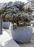 Jeunes plantes des arbres coniféres dans des pots sur les rues de Tbilisi photographie stock libre de droits