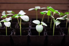 jeunes plantes des concombres, petites pousses dans des pots noirs, jeunes usines vertes image libre de droits