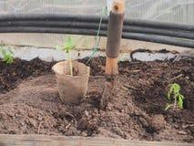 Jeunes plantes des courgettes dans une tasse de tourbe À côté de la tasse, a collé le scoop photos libres de droits