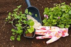 Jeunes plantes des fleurs Astra et de l'alto sur le fond du sol et des engrais photographie stock libre de droits