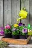 Jeunes plantes des fleurs de jardin dans la caisse en bois Boîte d'arrosage accrochante images libres de droits