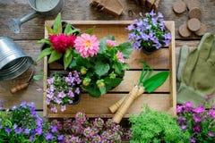 Jeunes plantes des fleurs de jardin sur le plateau en bois, boîte d'arrosage, seau, pelle, râteau, gants image stock